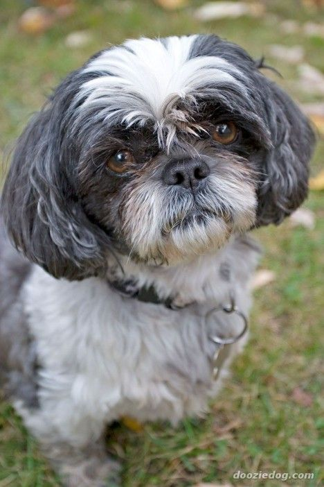 black and white shih tzu cute