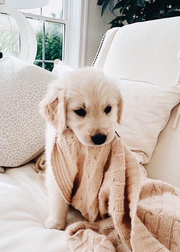 Time to cuddle! Sweetest little golden lab puppy. #CuteFurBaby #letsbePriceless inspo