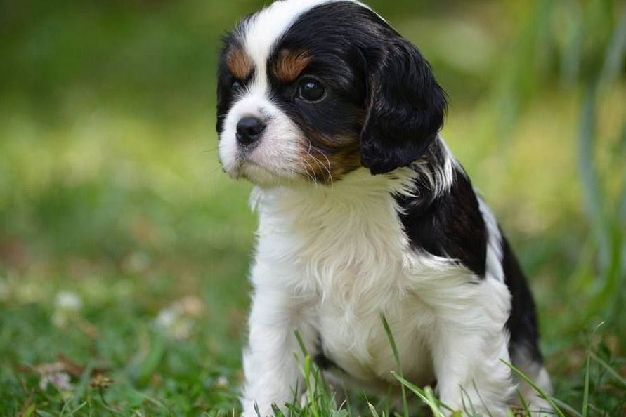 Northern Ridge Cavaliers Has Cavalier King Charles Spaniel Puppies