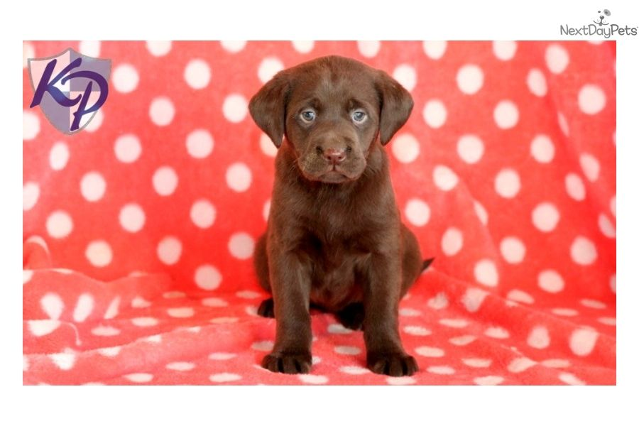 You'll love this Female Labrador Retriever puppy looking for a new home.