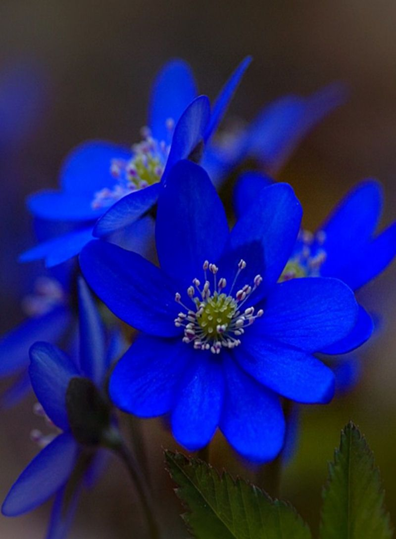 Intense blue flower blue colour inspiration petals nature blue flowers a blue flowers wallpapers and images izmirmasajfo Gallery