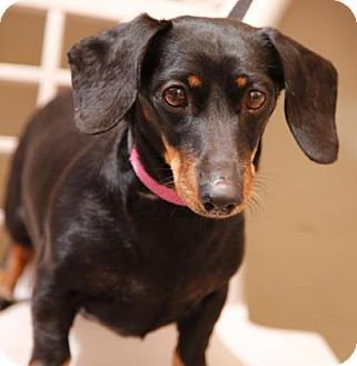 Little Trixy Is A Purebred Miniature Dachshund She Is 10 Years