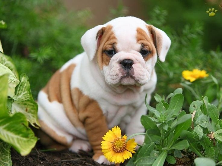 10 Reasons Why You Should Never Own English Bulldogs Bouledogue