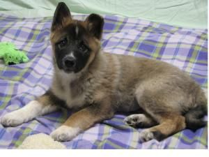 Adopt Glenda Adopted On Norwegian Elkhound Pets Dogs
