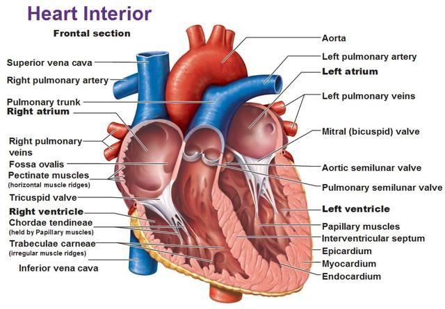 fossa ovalis - Google Search   Heart diagram, Human heart ...