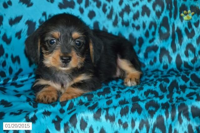 Pin By Buckeye Puppies On Darling Puppies Puppies For Sale