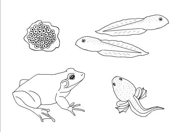 Printable Life Cycle Coloring Sheets By Sarah Bonczek Simpson These Can Be Printed And Traced Onto A Shir Frog Coloring Pages Ladybug Life Cycle Coloring Pages