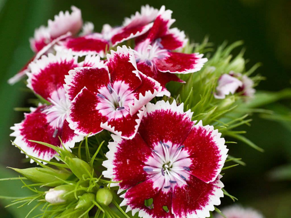 Dianthus Barbatus Sweet William World Of Flowering Plants Dianthus Barbatus Dianthus Flowers Sweet William