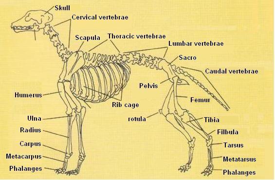 Canine Skeleton Chart Dog Skeletal System With Images Dog