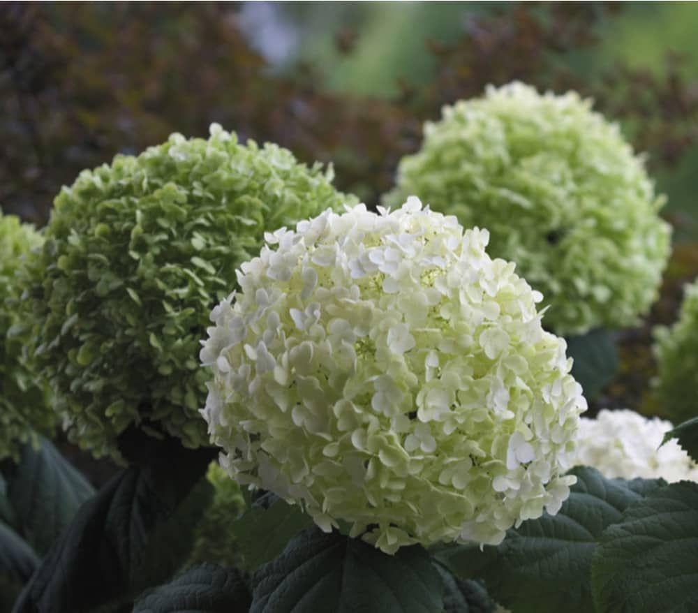 Garten Center Dehner: Schneeball-Hortensie 'Strong Annabelle'® : Dehner Garten