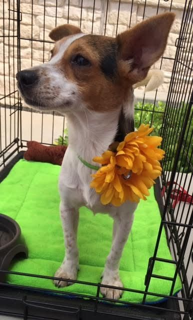 Jack Chi Dog For Adoption In Fort Worth Tx Adn 525649 On