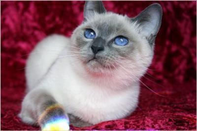 Siamese Cat Personality Poc Cat Personalities Cat Diseases