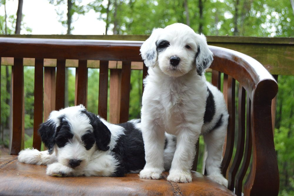 Sheepadoodle Puppies Https Bestsheepadoodles Com
