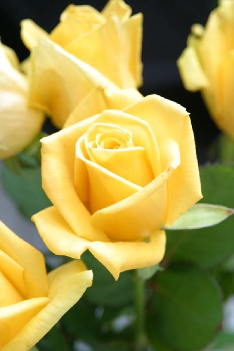 A Tangy Lemon Yellow Rose Vibrant In It S Color Ordering Roses