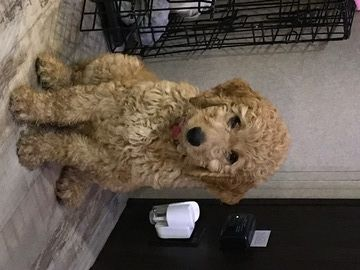 Goldendoodle Puppy For Sale In Asheville Nc Adn 47999 On