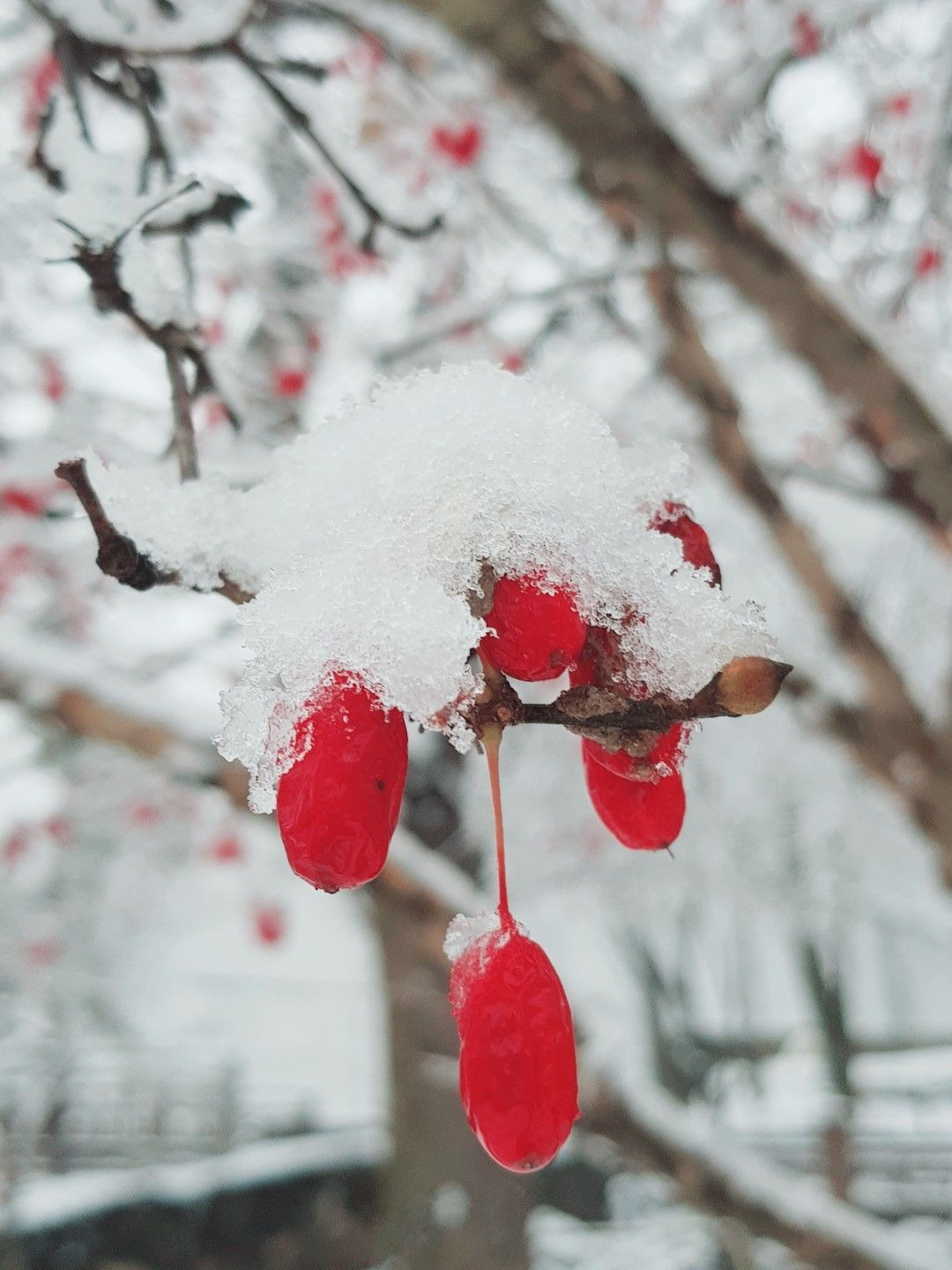 Pop of red #winter #berries #aesthetic Holiday spirit in the nature. First snow in Korea, make a wish darling♡♡♡