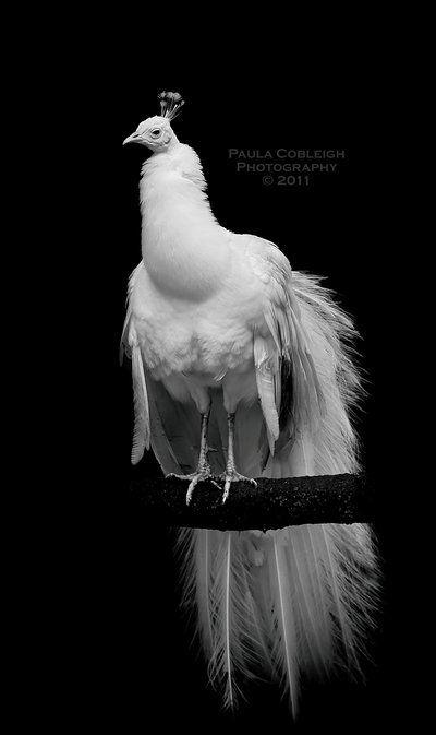 Leucistic White Peacock