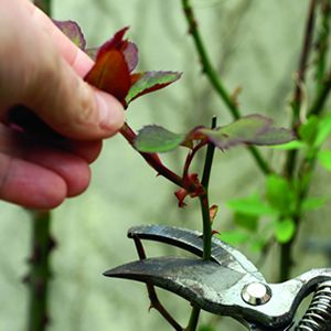 Top 5 Must Do Tasks For Spring Pruning Roses Prune Flowers For Everyone
