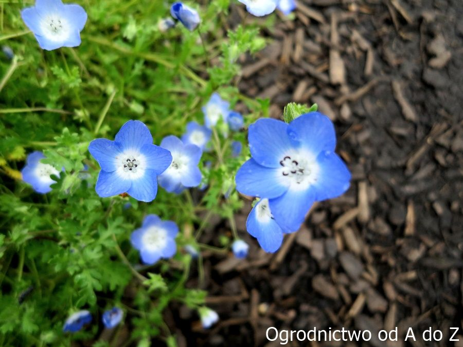 Ogrod W Barwach Nieba Wybrane Rosliny Kwitnace Na Niebiesko Blue Flowers Flowers Plants