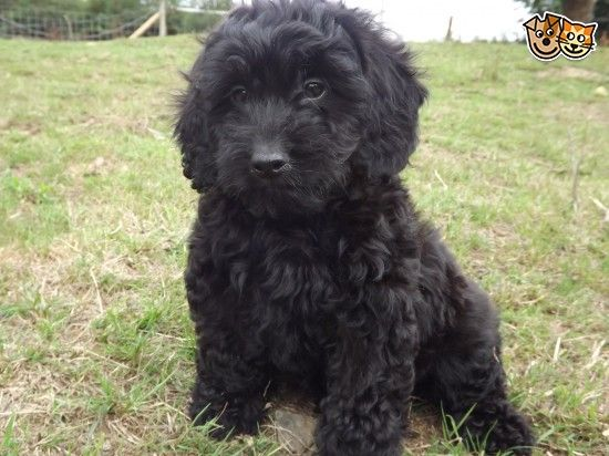 Gorgeaus Dark Cockapoo Puppies With Images Cockapoo Puppies Puppies Black Cockapoo