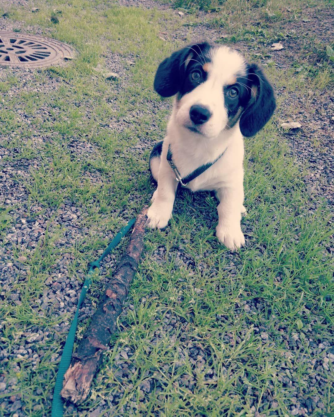 The Most Glorious Stick Ever Corgi Drever Pembrokewelshcorgi Welshcorgi Dreeveri Puppy Puppylove Puppi Welsh Corgi Pembroke Welsh Corgi Puppies