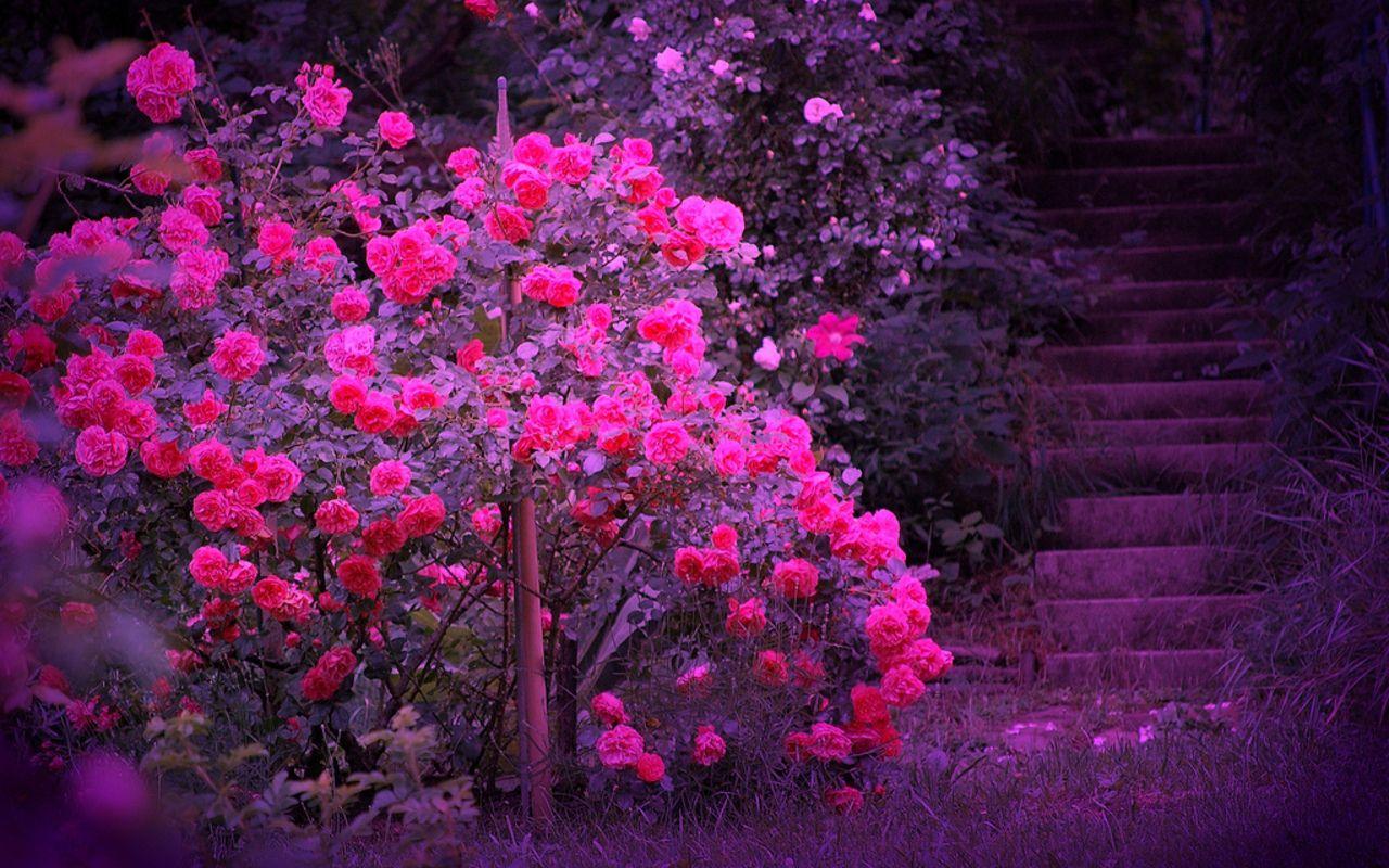 30 Schöne Bilder Für Facebook   Pink   Rose wallpaper ...