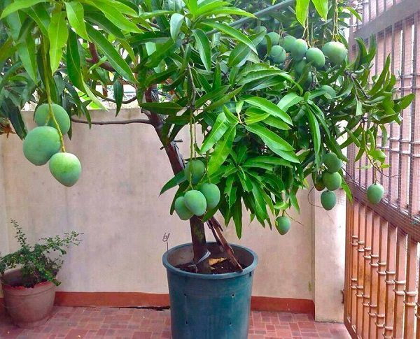 How To Grow A Mango Tree In A Pot Potted Trees Mango Plant Fruit Plants