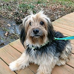 Pictures of RILEY a Yorkie, Yorkshire Terrier for adoption
