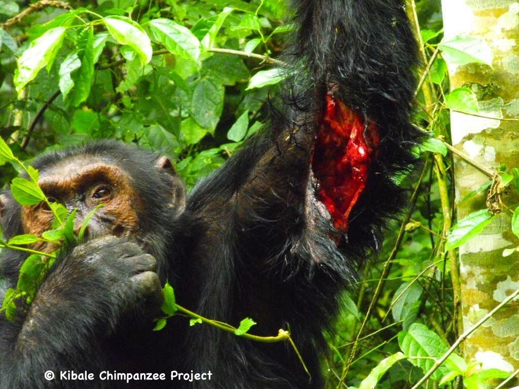 The then alpha male Imoso was speared by an angry farmer during a crop raiding incident. (photo: P. Bertolani/KCP )