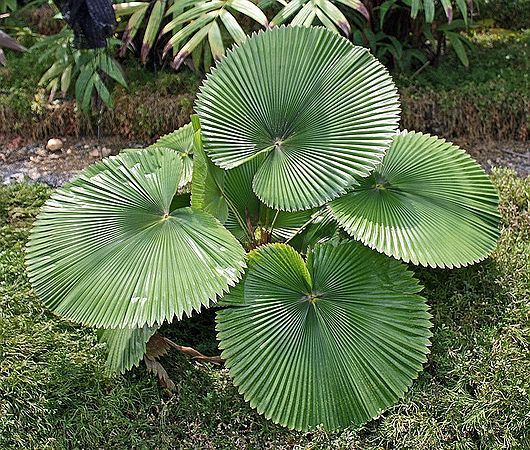 Licuala cordata palms pinterest plants gardens and palm Weird plants to grow indoors