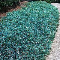 Blue Rug Juniper Juniperus Horizontalis Wiltonii Evergreen Groundcover Sun
