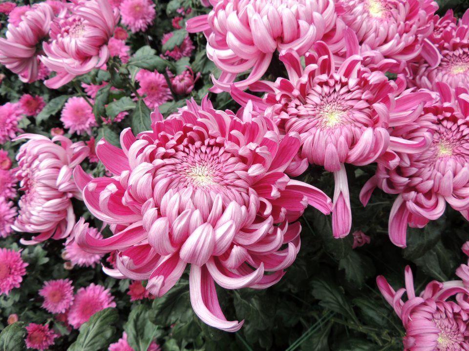 chrysanthemum x morifolium - photo #4