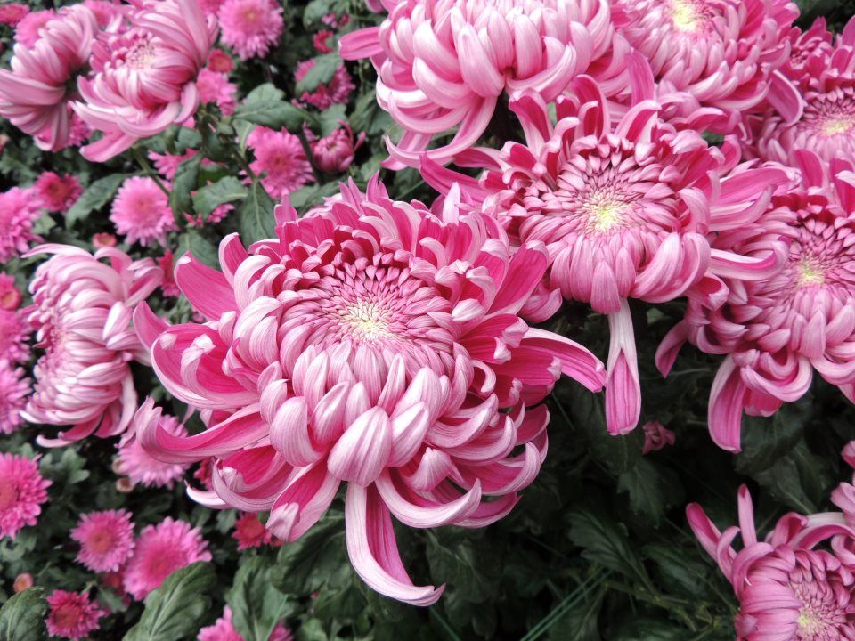 Chrysanthemum X Morifolium Hagoromo Chrysanthemum Growing Chrysanthemum Morifolium Flowers