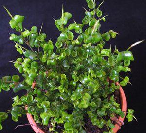 ficus benjamina natasja clump natasja clump weeping fig special plants pinterest ficus. Black Bedroom Furniture Sets. Home Design Ideas