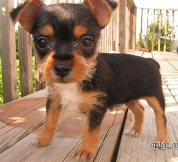 chihuahua terrier mix how big does it get how cute it s a chorkie like my dog roxie animals 6443