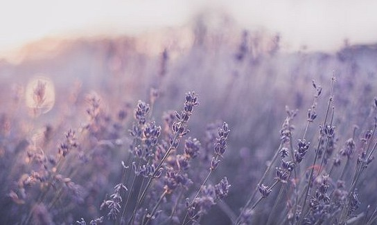 35 Beautiful Mobile Wallpapers About Plants Beautiful Mobile Wallpapers Lavender Aesthetic Purple Aesthetic Flower Aesthetic