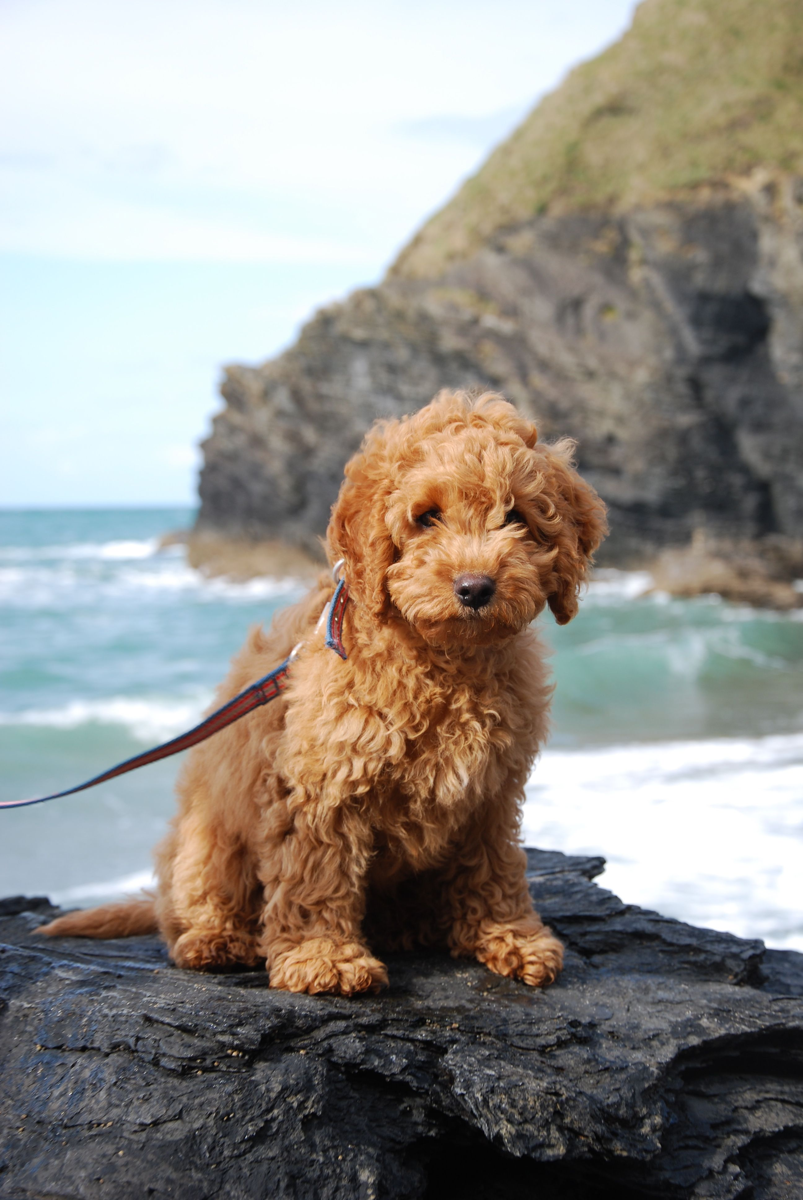 Cockapoo Puppies For Sale Gauteng South Africa