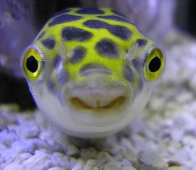 Giant Freshwater Pufferfish Dwarf Puffer Fish Freshwater Fish Fish
