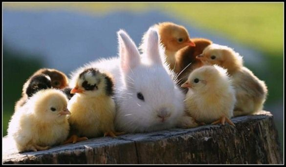 Image result for images for bunnies and chicks