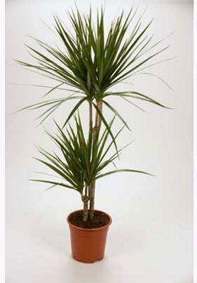 Dracaena Marginata (Madagascar Dragon Tree) Houseplant - 19cm ... on amazon plants, sam's club plants, costco plants, laura ashley plants,