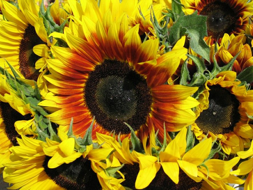 Spring Summer Sunflowers Yellow Orange Brown Big Nature Pretty Wallpaper Growing Sunflowers Plant Care Plants