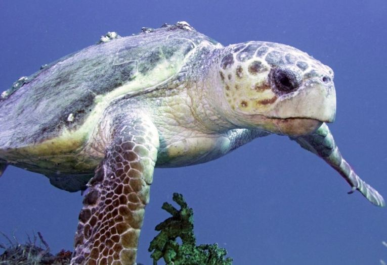 While loggerhead turtles have been investigated to try and find out how best to conserve this endangered species, new techniques with tiny data-collectors show video and positional information about their foraging. #turtles #seaturtles #loggerhead