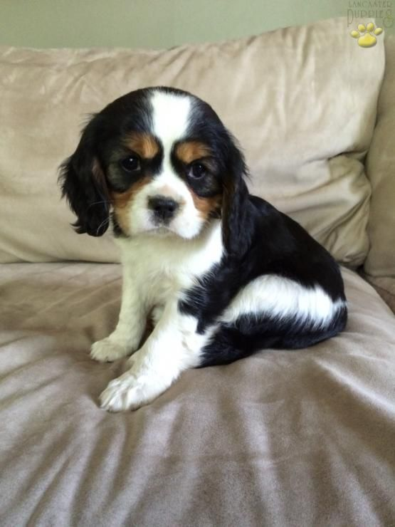 Buster Cavalier King Charles Spaniel Puppy For Sale In Ephrata Pa King Charles Cavalier Spaniel Puppy King Charles Spaniel Cavalier King Charles