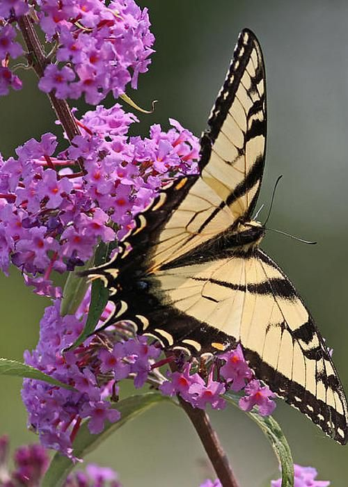 Tiger Swallowtail Butterfly by Jim Nelson