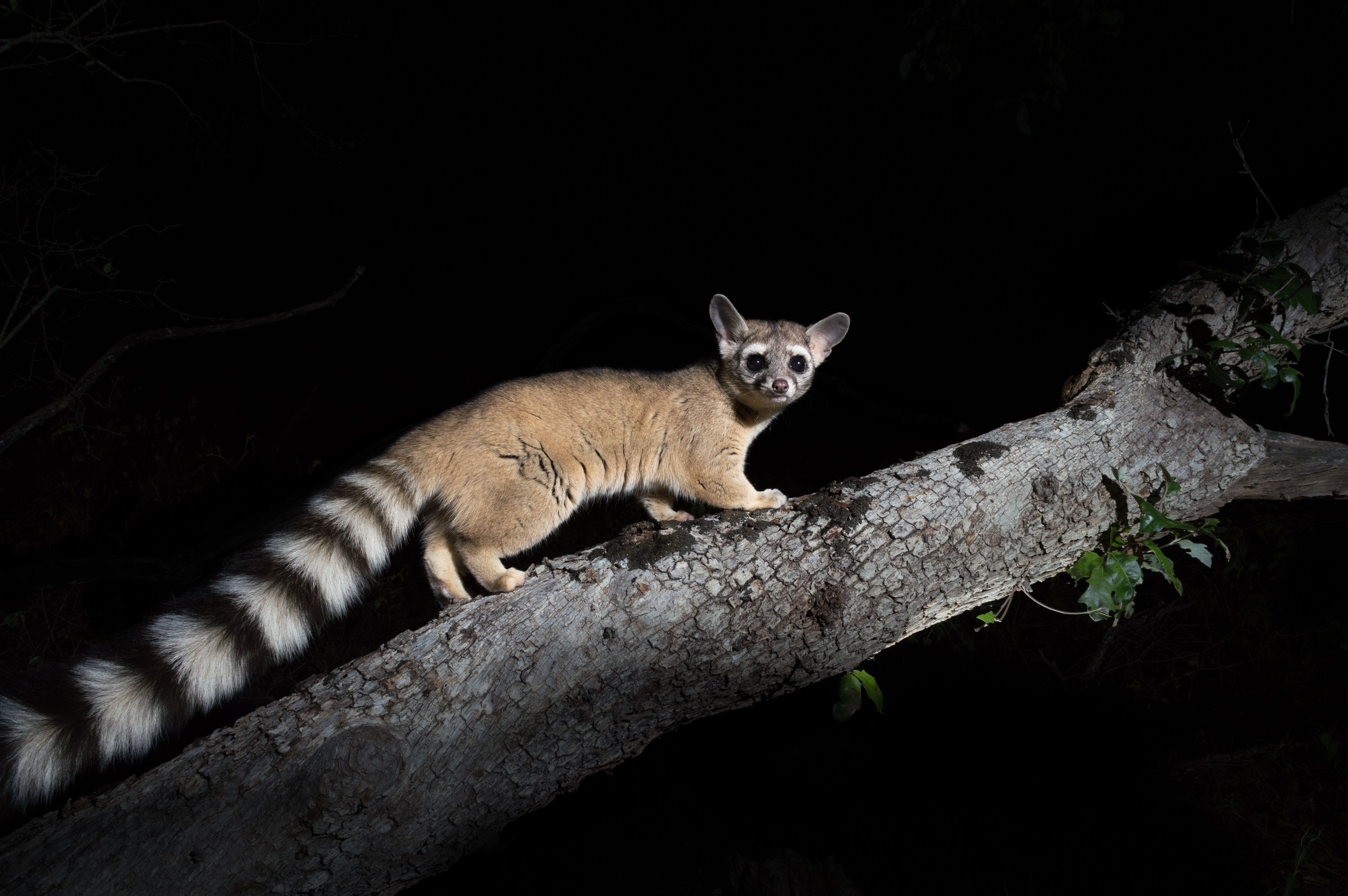 Bassariscus astutus Ringtail Texas hill country, Great