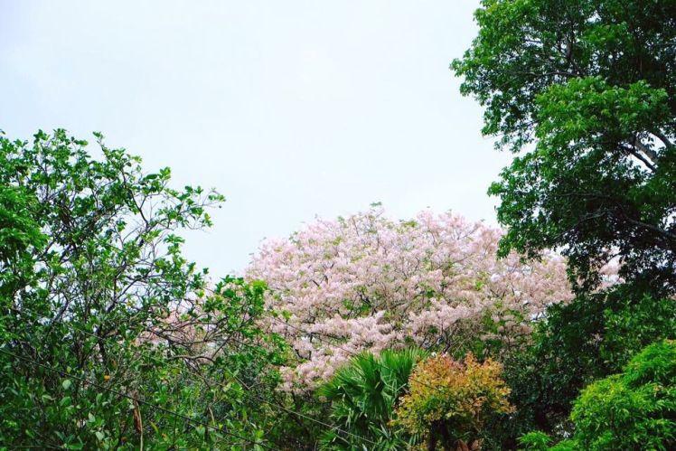 La Castellana S Palawan Cherry Blossoms Up Close In 2021 Palawan Cherry Blossom Blossom