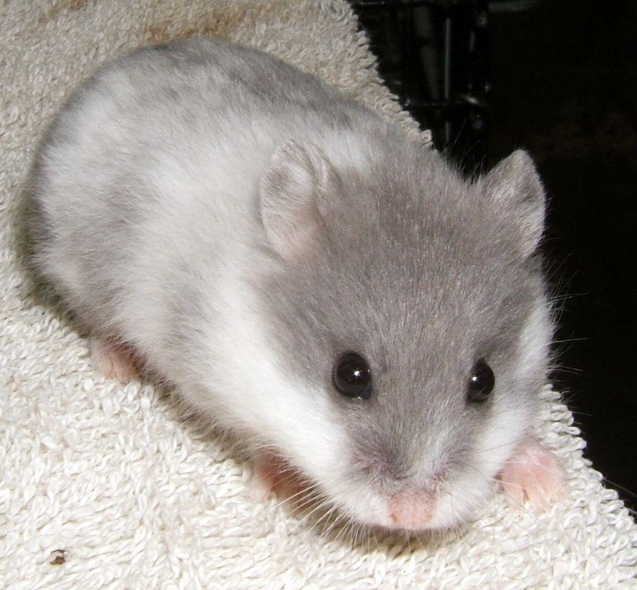 Furball Critters Animals Hamster Furball