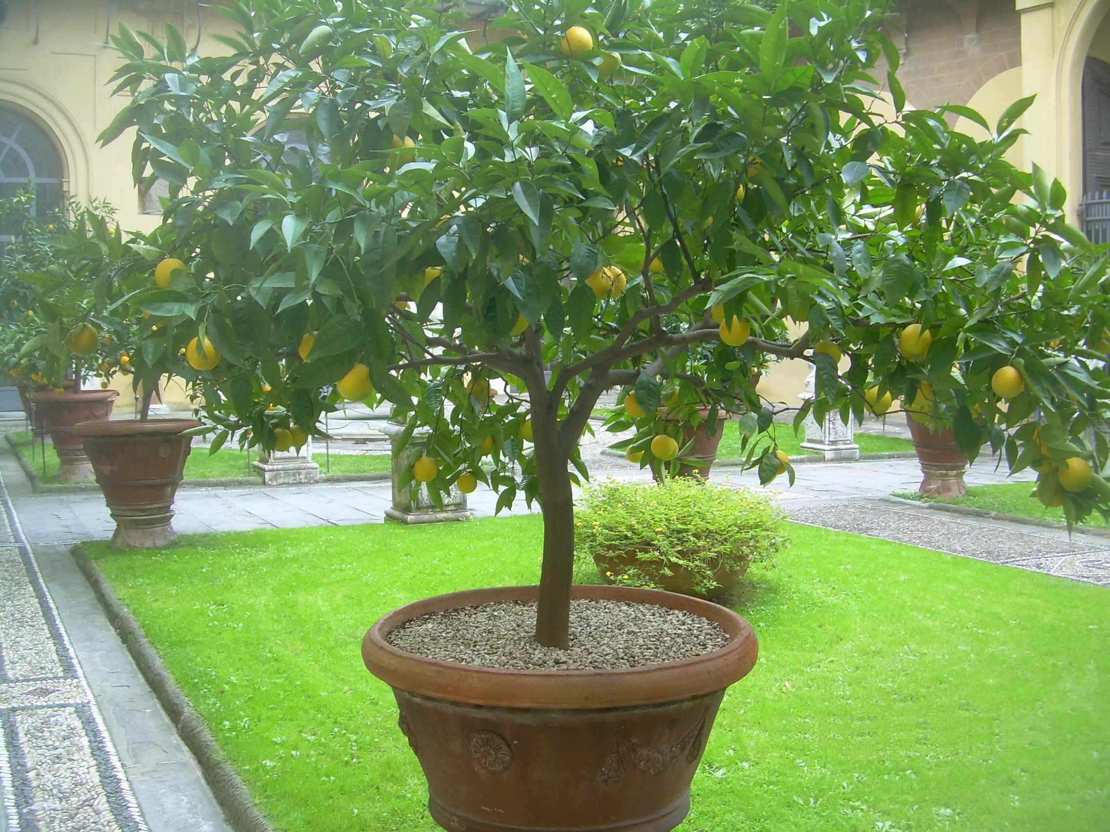 Amazing Lemon Trees In Pots | ... Are A Number Of These Potted Citrus Trees In The  Medici Palace Garden