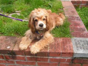 Adopt Betsy On Petfinder Spaniel Art Cocker Spaniel Cute Puppies
