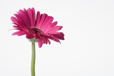 Meaning Of Gerbera Daisy Colors Gerbera Daisy Gerbera Pressed Flowers